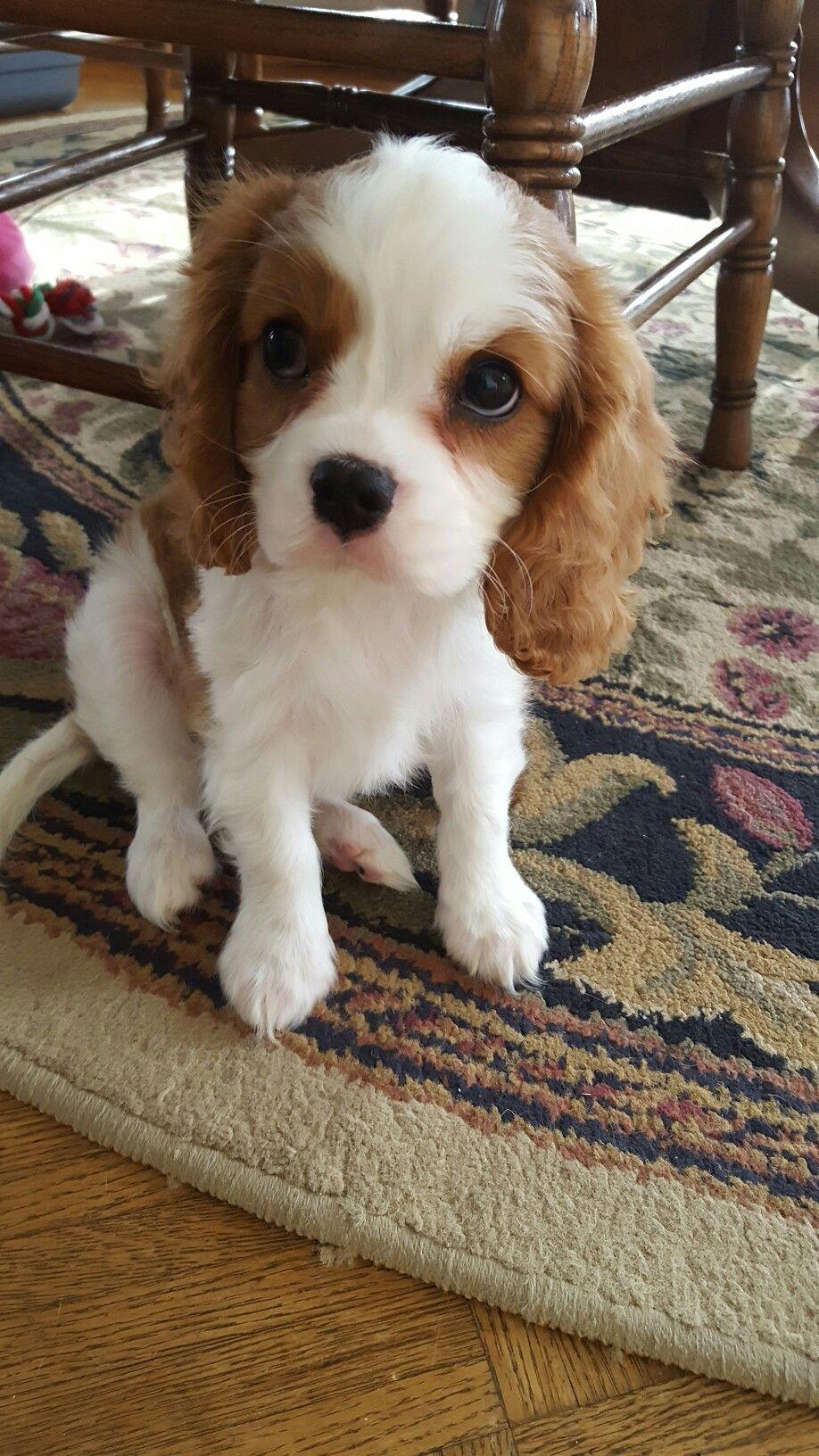 Pin By Nazarena Madera On Animals King Charles Cavalier Spaniel Puppy Dog Love Cavalier King Charles