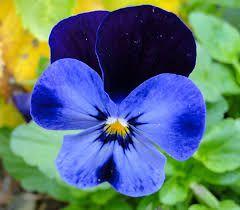 40++ Planta flor azul pequena trends