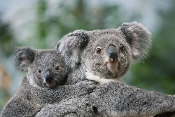 Koala schaut in die Kamera; Rechte picture alliance
