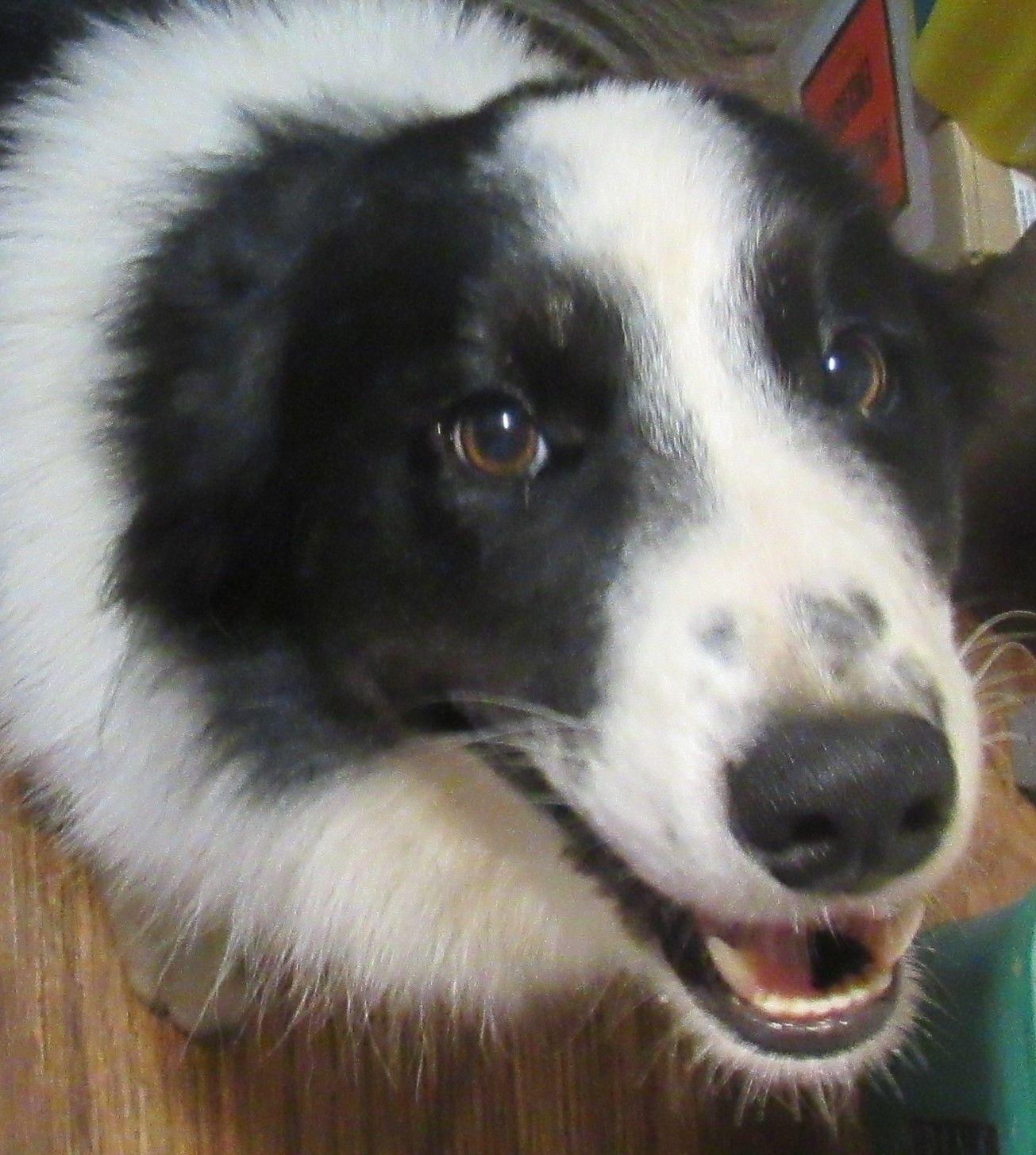 Adopt Luke On Border Collie Collie Border Collie Dog