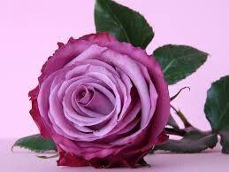 Solamene.Rosas