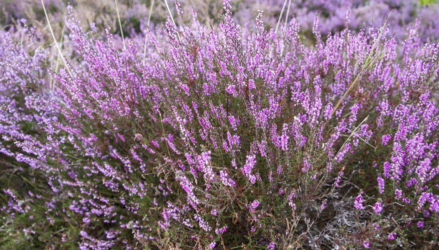 purple heather flowers in 2020 Heather flower, Heather