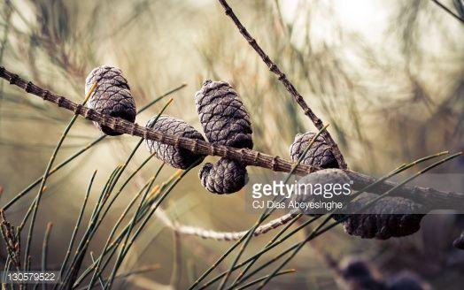 Stock Photo : Pine cones