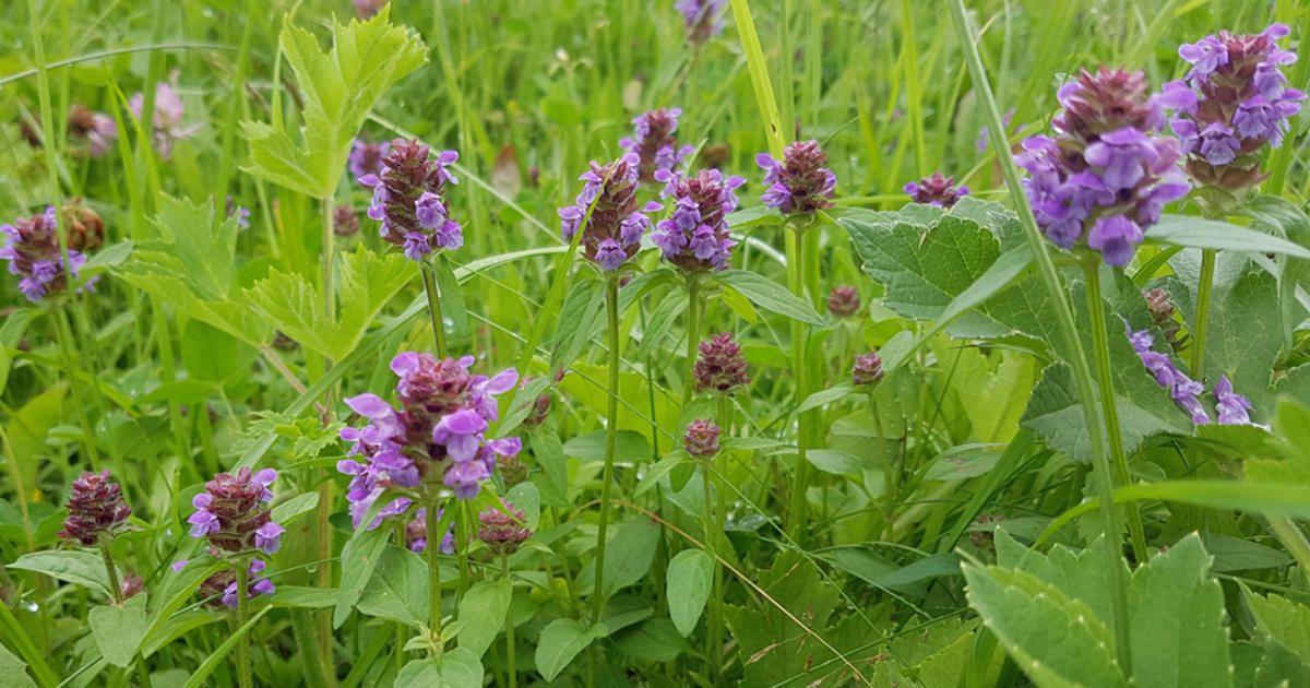 Kleine Braunelle Blutenreiche Wildstaude Pflanzen Krauterpflanzen Unkraut Im Rasen