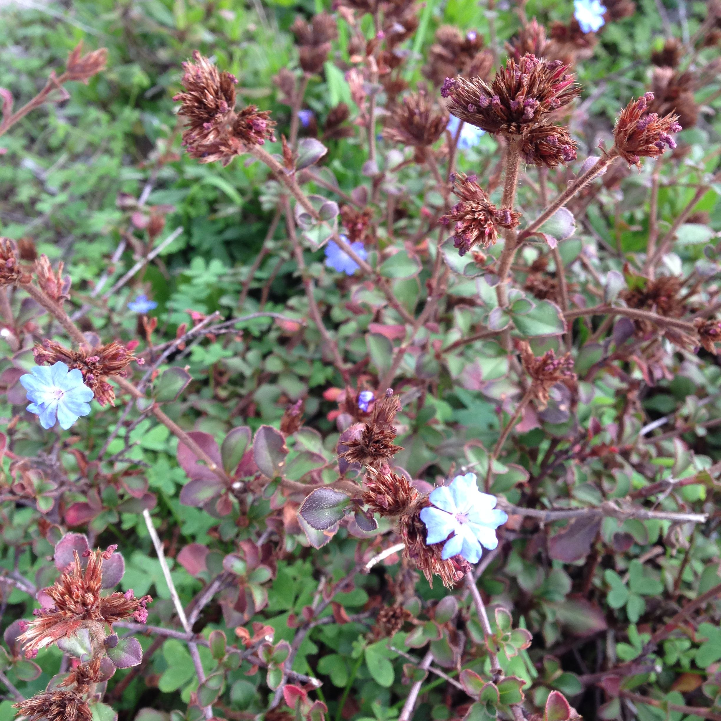 Unknown Low Scraggly Bush With Tiny Bright Blue Flowers Front
