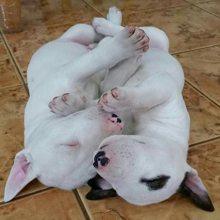 Amazing Dogo Chubby Adorable Dog - 64c8569f9438efae198d9d8fc6fef5d3  Snapshot_983986  .jpg