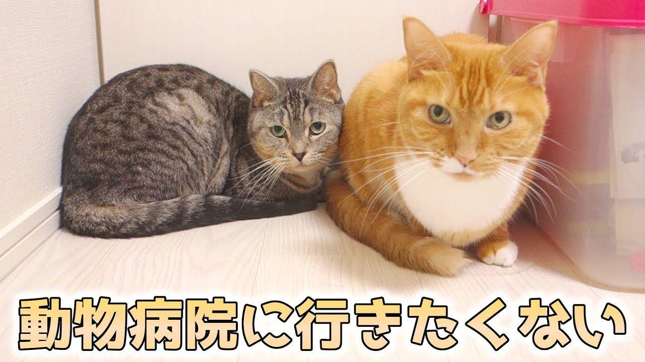 猫ズは動物病院に行きたくない 連れていく準備をすると逃げたり隠れたりする猫ズ Youtube 猫 動物 茶トラ猫