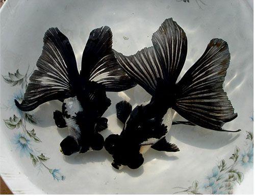 Goldfish Of China Goldfish Goldfish Aquarium Aquarium Fish