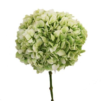 Google Image Result for http://www.fiftyflowers.com/site_files/FiftyFlowers/Image/Product/Hydrangea-Mint-350.jpg