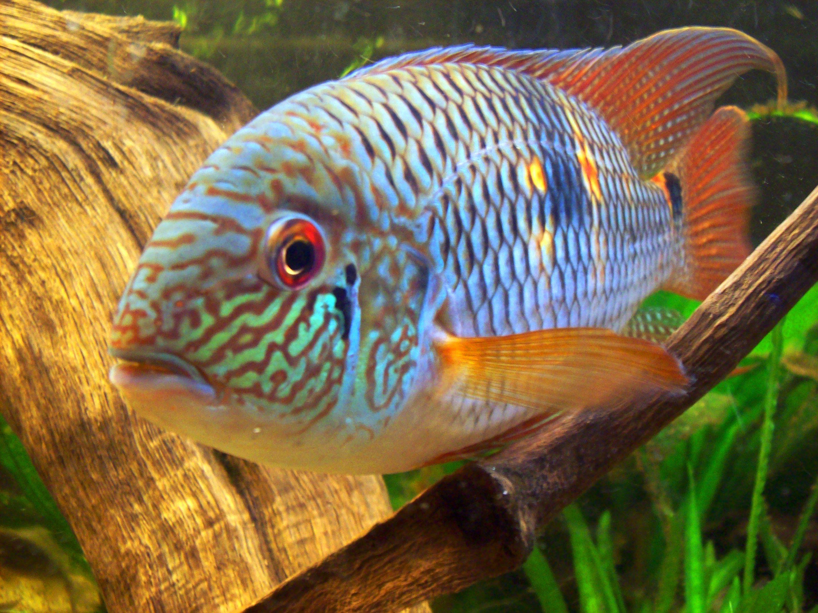 Freshwater fish art - Art