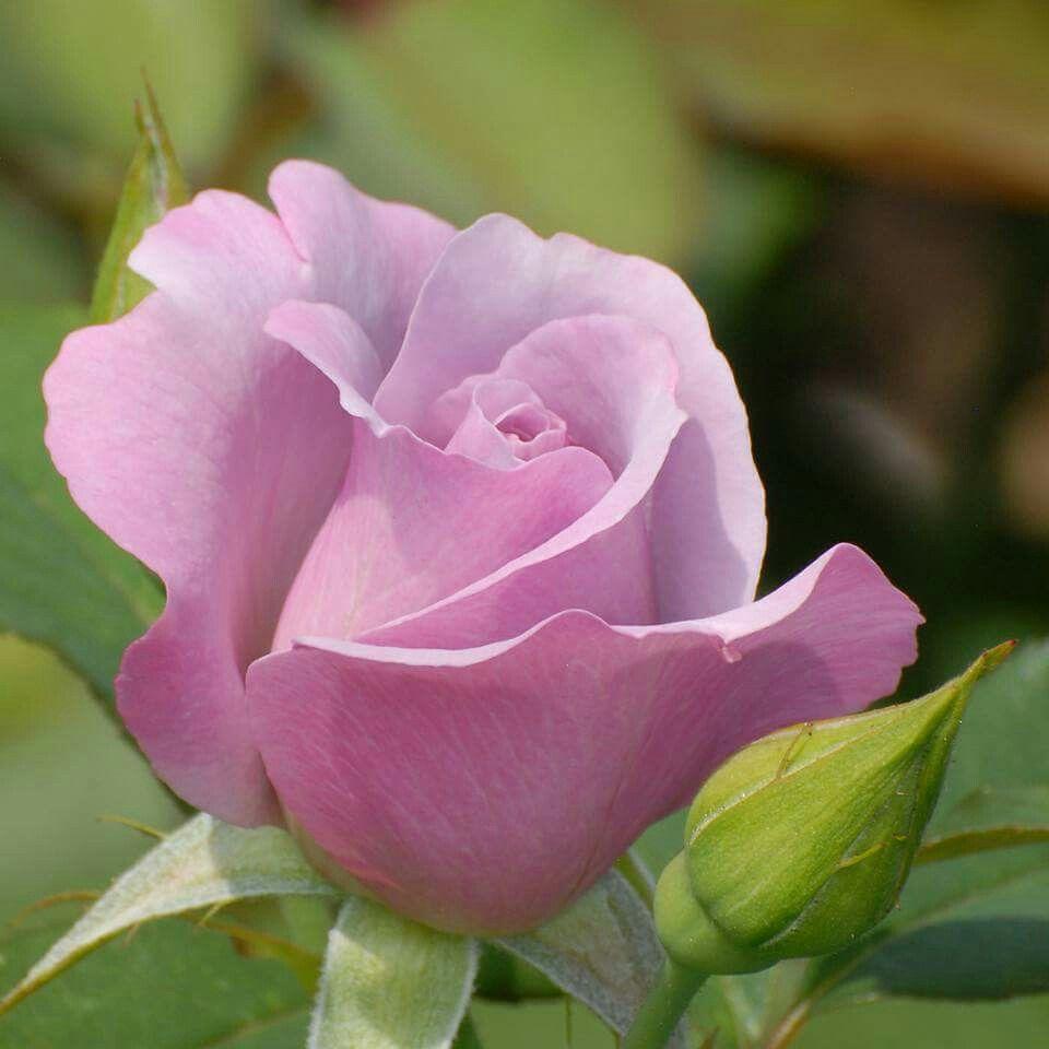 pingl par oleksandra hulko sur pinterest rose fleurs et toutes les fleurs. Black Bedroom Furniture Sets. Home Design Ideas