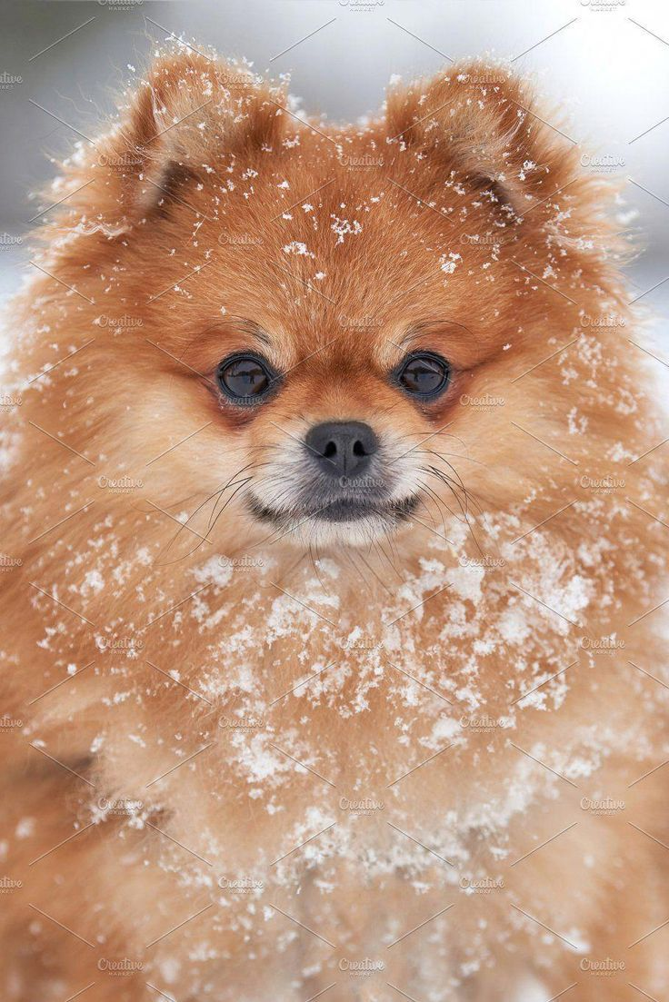 Photo of Discover the pomeranian size #pomeranian life #pomeranian moments #pomeranian …