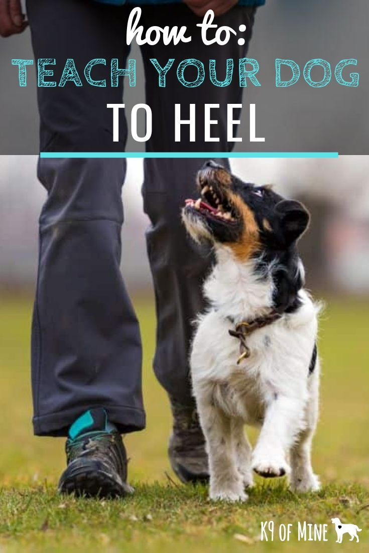 How to teach a dog to heel with images dog training