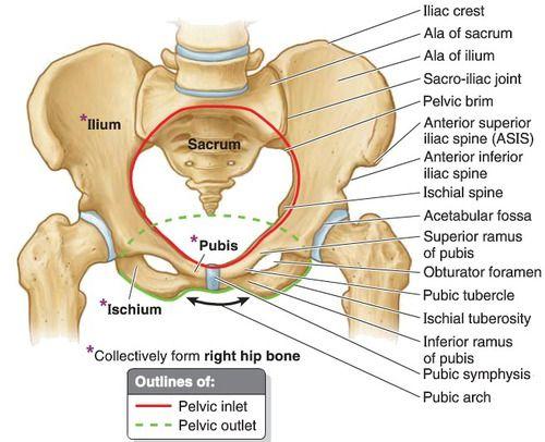 The ilium | Anatomy | Pinterest