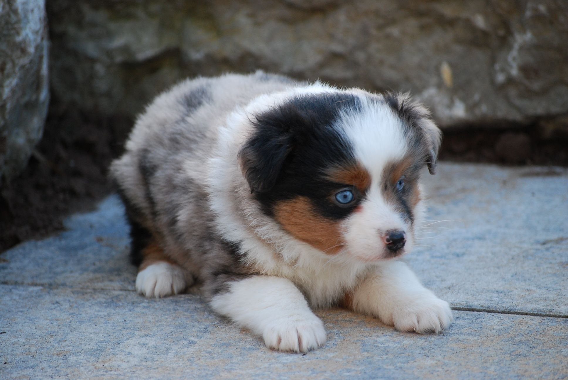 miniature australian shepherd Hundewelpen