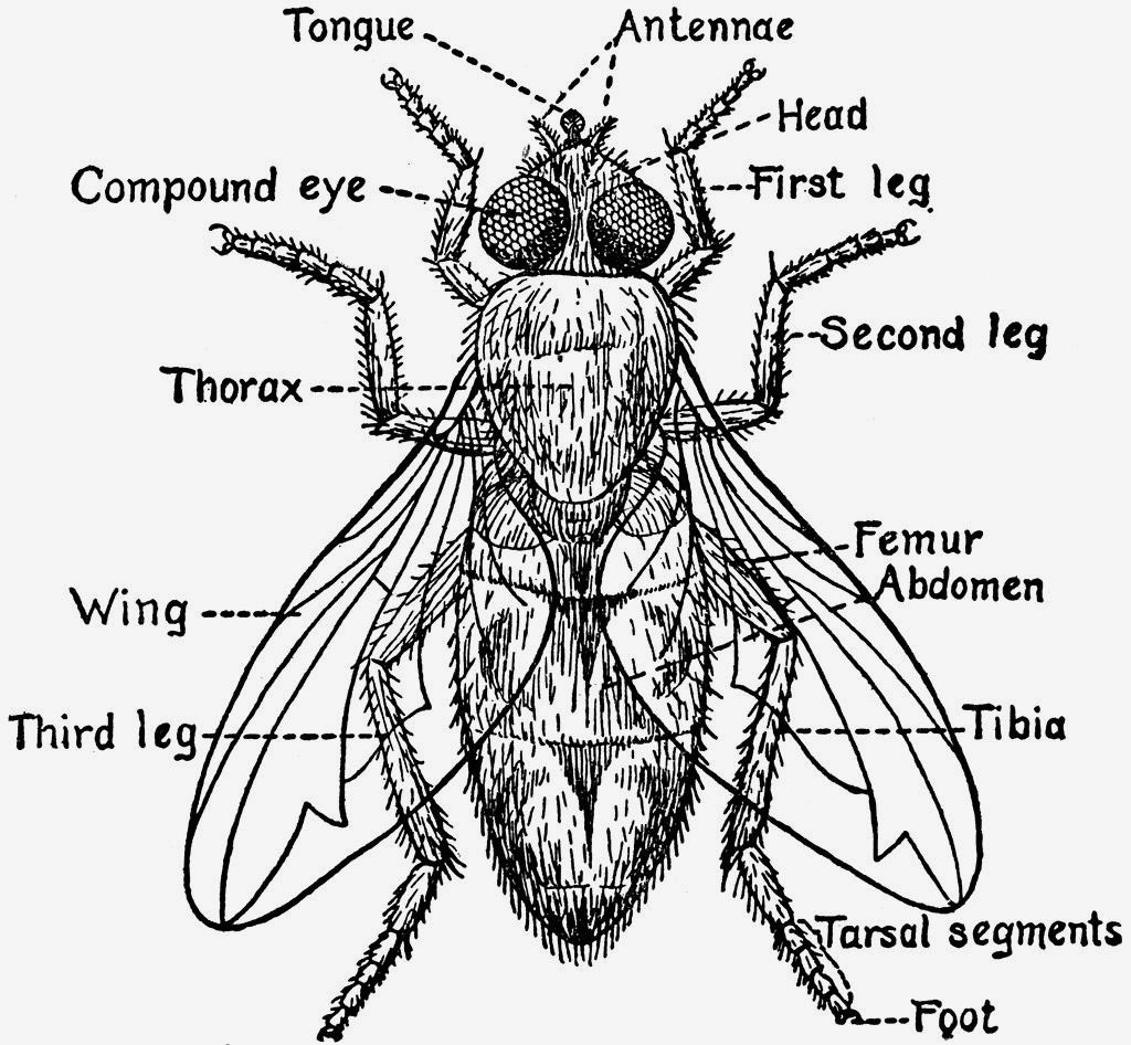 fly anatomy [ 1024 x 946 Pixel ]
