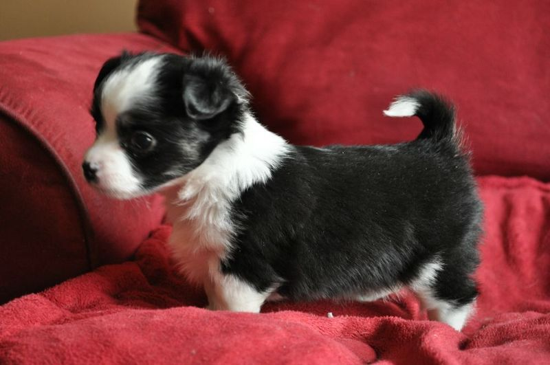 Chihuahua Puppy Looks Like A Tiny Border Collie Best Of Both