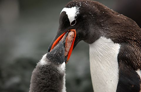 Penguin feeding her chick, probably krill, a kind of shrimp. They ...