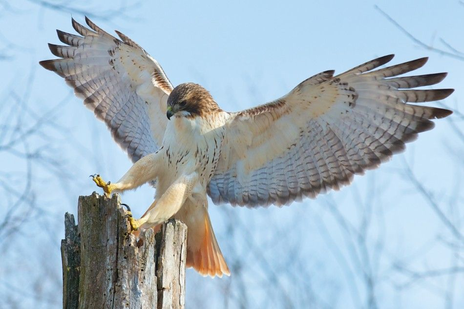 Red tailed hawk red tailed hawk bird and animal - Red tailed hawk wallpaper ...