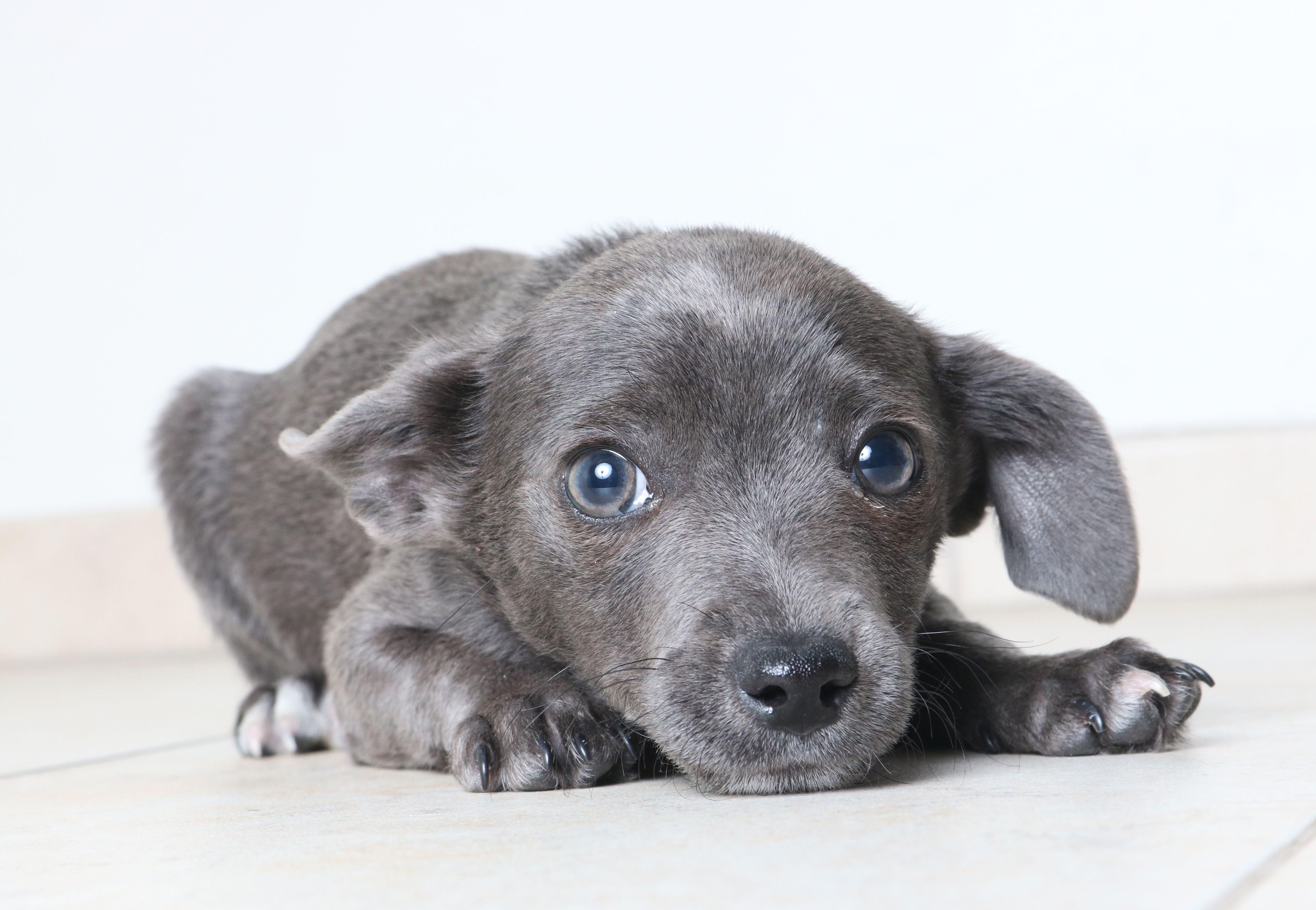 Italian Greyhuahua dog for Adoption in Eden Prairie, MN