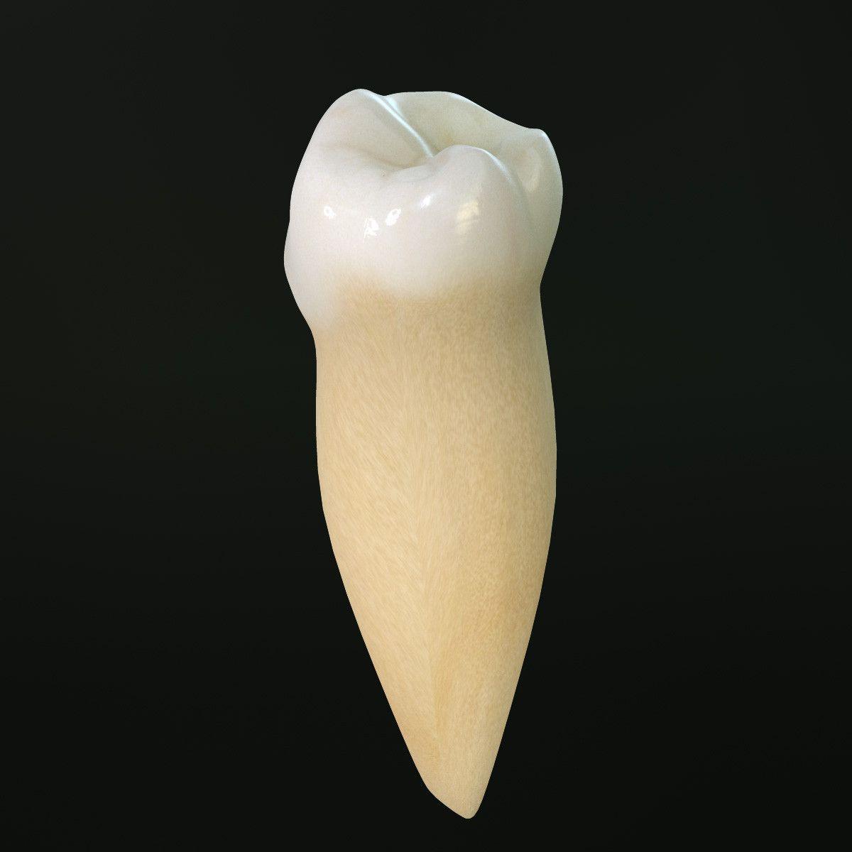 3D Tooth Lower Premolar - 3D Model | 3D-Modeling | Pinterest