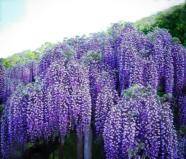 Blue Moon Wisteria In 2020 Purple Plants Landscape Nursery Purple Wisteria