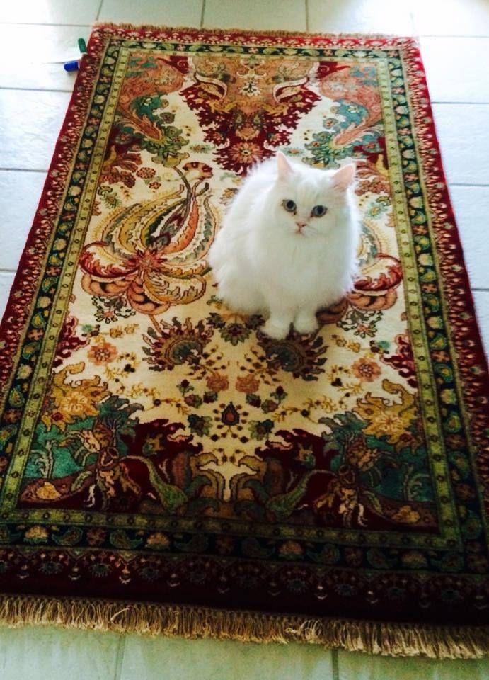 Our kitty on lovely Bidjar area rug