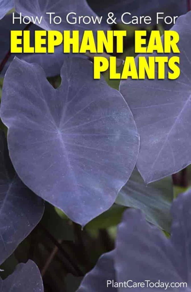 Elephant Ears Plant: How To Grow The Colocasia #elephantearsandtropicals