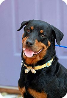 Pin By Tracy Fromm On Rottweilers For Adoption Rottweiler Dogs