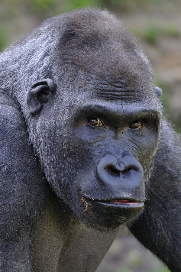 """500px / Photo """"Gorilla"""" by Josef Gelernter"""