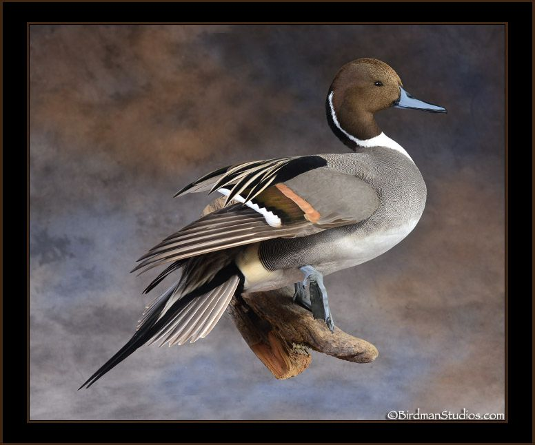 Northern pintail mount - photo#37