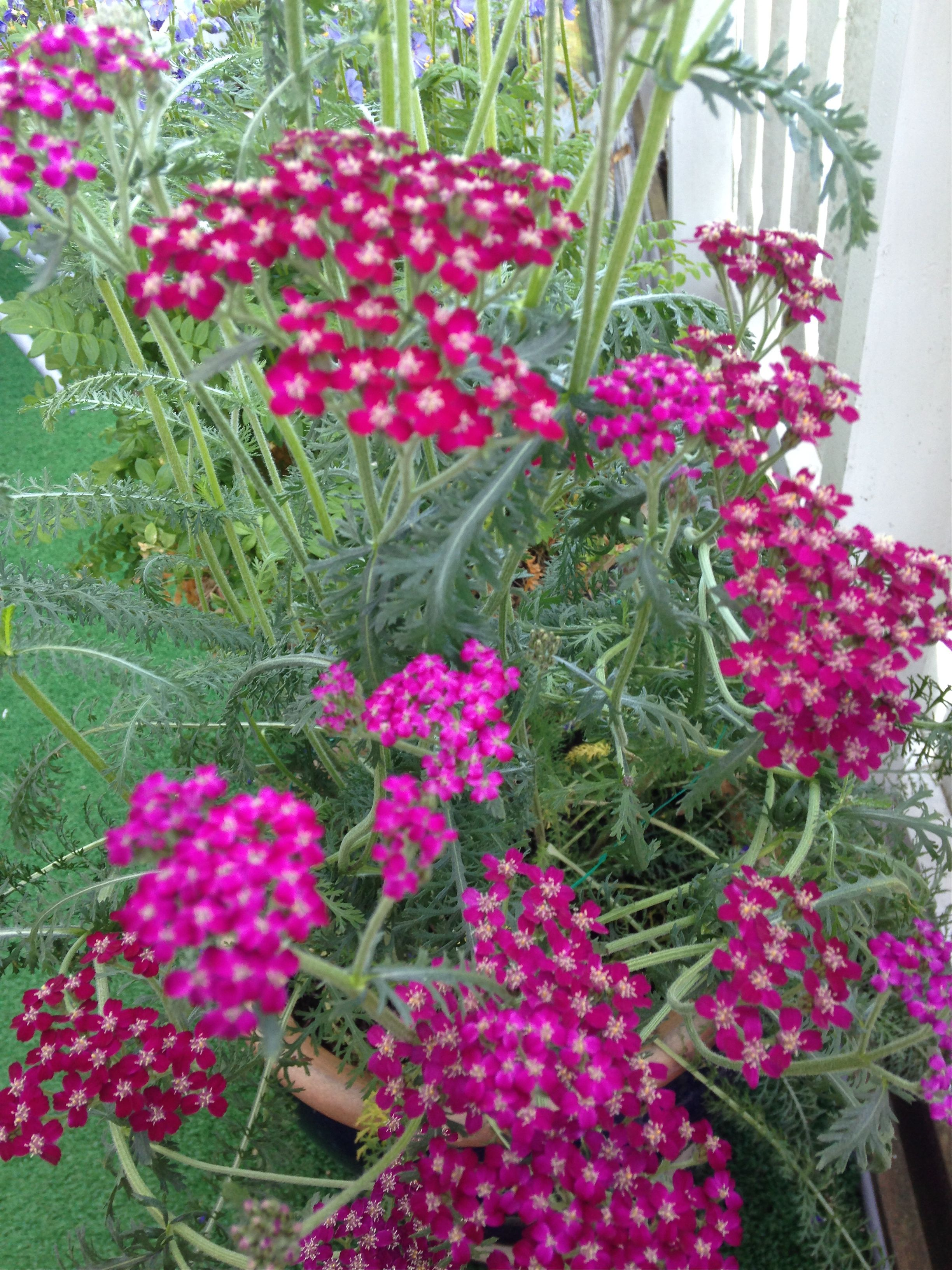"Ryllik - denne vokser i en krukke på terassen - The Yarrow Achillea grows in a pot on the terrace :) ""Margeritten"" by IJ 20.7.14"