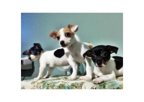 Chihuahua Puppies For Sale In Ga Chihuahua Puppies Chihuahua