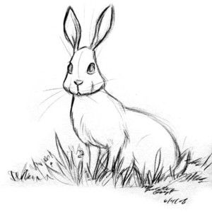 Cape Hare Sketch Hľadat Googlom Hare Sketch Sketches