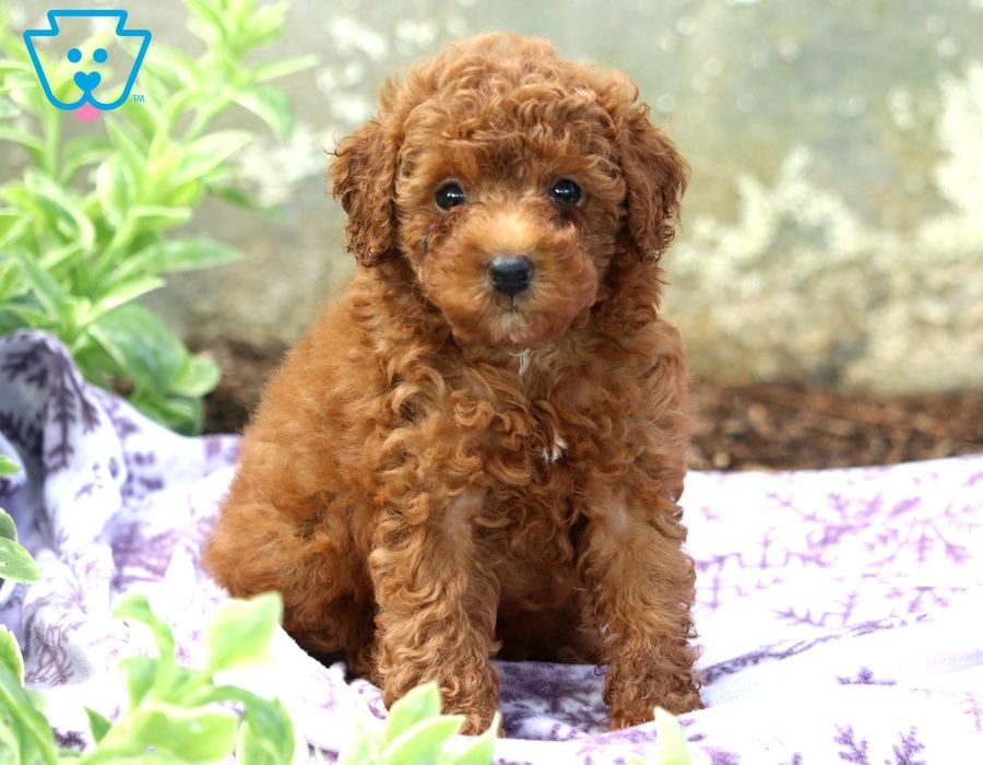 Skippy Poodle Puppies For Sale Toy Puppies For Sale Toy Poodle