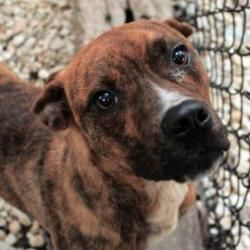 Charm is an adoptable Boxer Dog in Waco, TX from Humane Society of