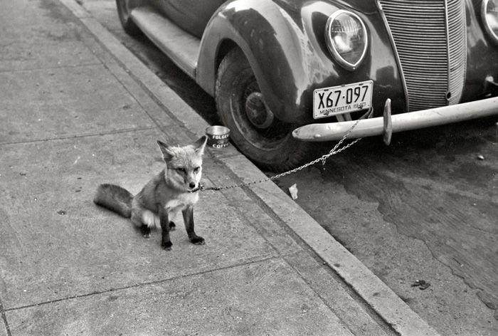 <3 pet fox <3