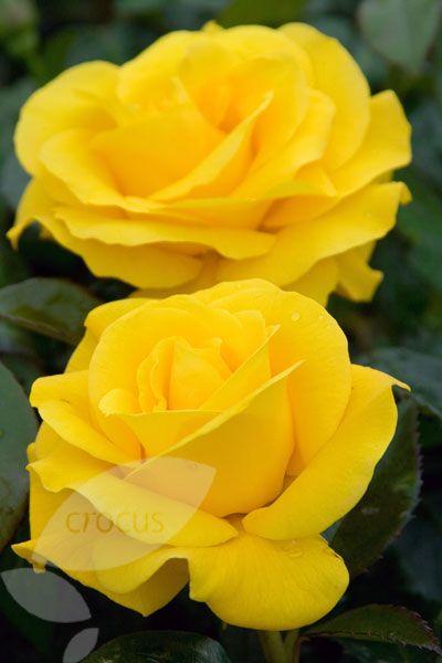 Golden Wedding Rose Floribundahybrid Tea Ive Never Liked Yellow
