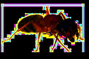 Comment exterminer les fourmis charpentières | Comment éliminer les fourmis, Fourmis ...