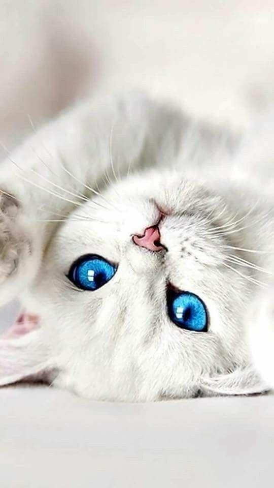 Голубоглазое чудо! Что за дивные существа!? #cats #cutecats cats | cat cute | cute cats and kittens |cat beautiful | cat lovers