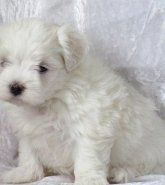 Puppies For Sale Colorado Maltese Breeders Teacup Puppies For