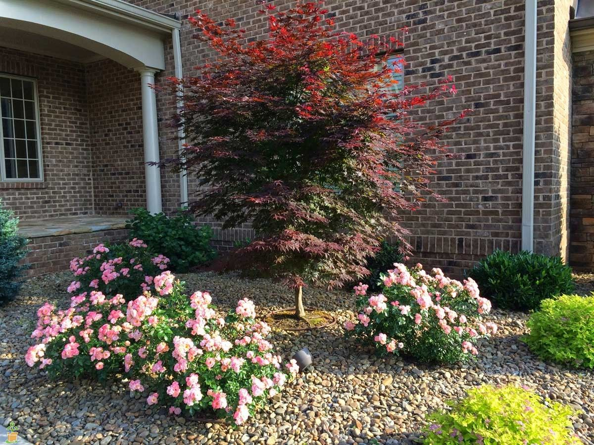 The Low, Spreading Habit Of Drift® Roses Is Perfect For Small Gardens And  Combination