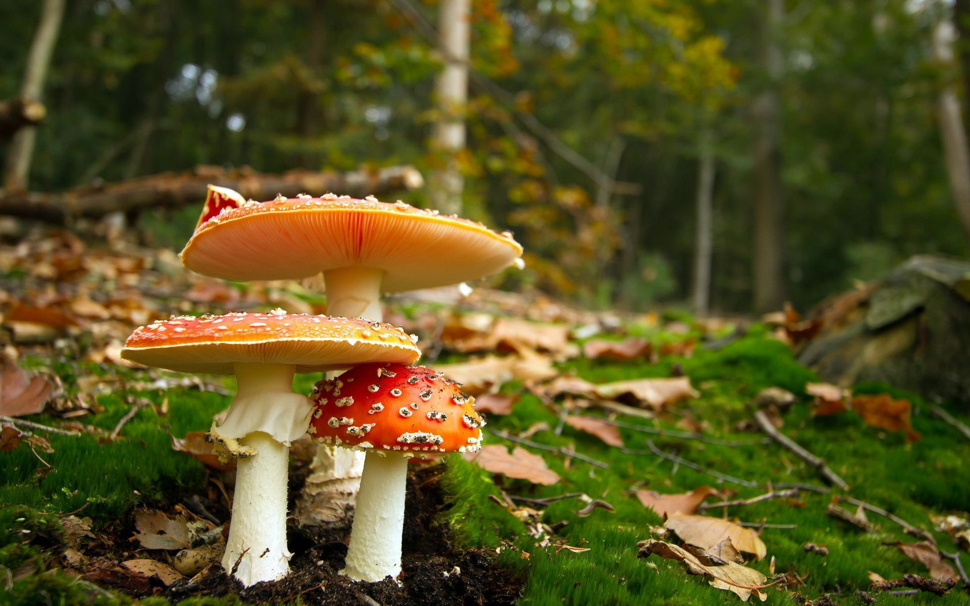 Mushroom Wallpaper For PC Full HD Pictures 1920x1200 30 Wallpapers