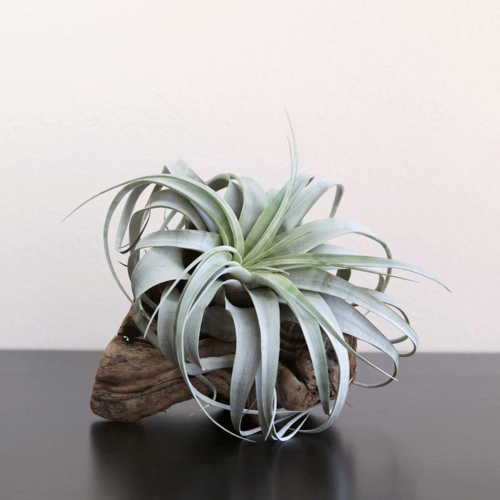 Large Air Plant Xerographica Grapewood Display Large Air Plants Air Plant Display Types Of Air Plants