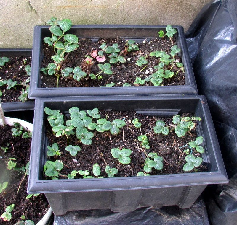 How to Grow Strawberries in Containers and Hanging Baskets #growingstrawberriesincontainers How to Grow Strawberries in Containers and Hanging Baskets #growingstrawberriesincontainers