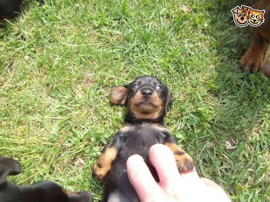 Miniature Black And Tan Dachshund Puppies Bridgend Bridgend
