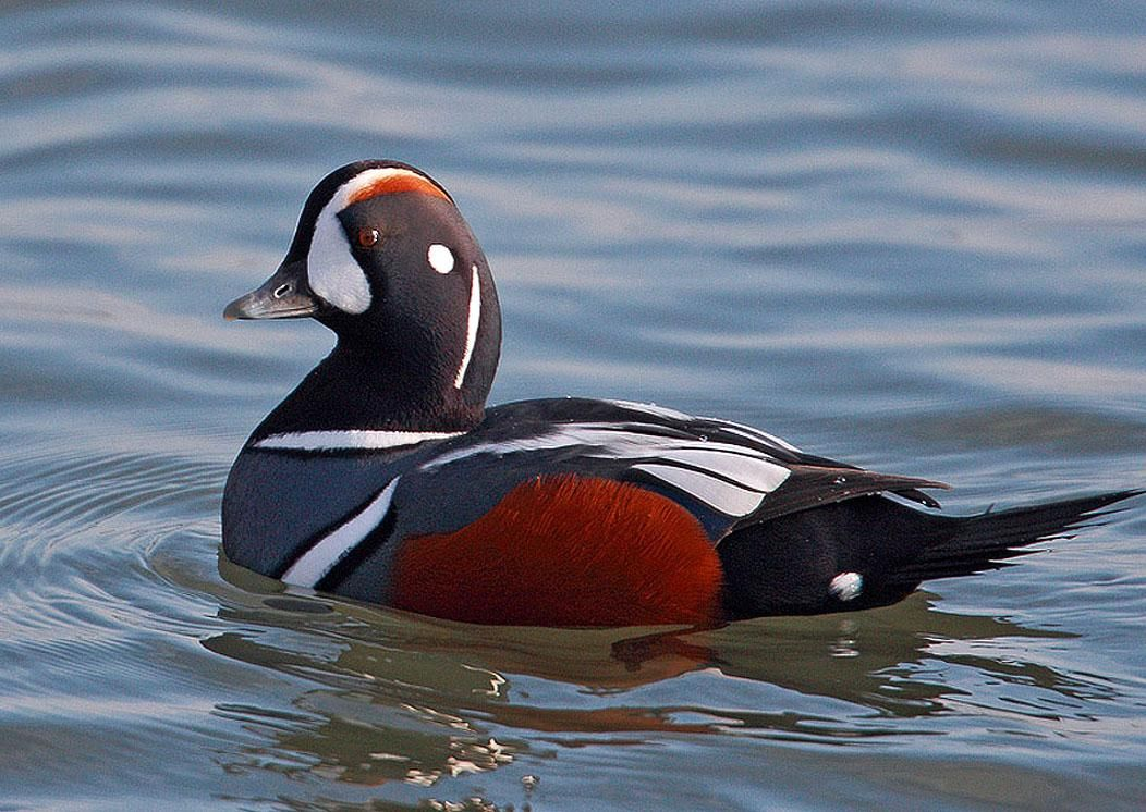harlequin ducks | male harlequin duck see what i mean ... - photo#10