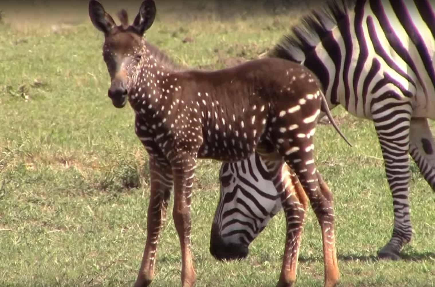 Beautiful Baby Zebra Born With Spots Instead Of Stripes