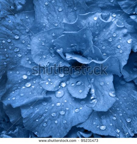 beautiful spring flower wet with dew drops, in blue tone