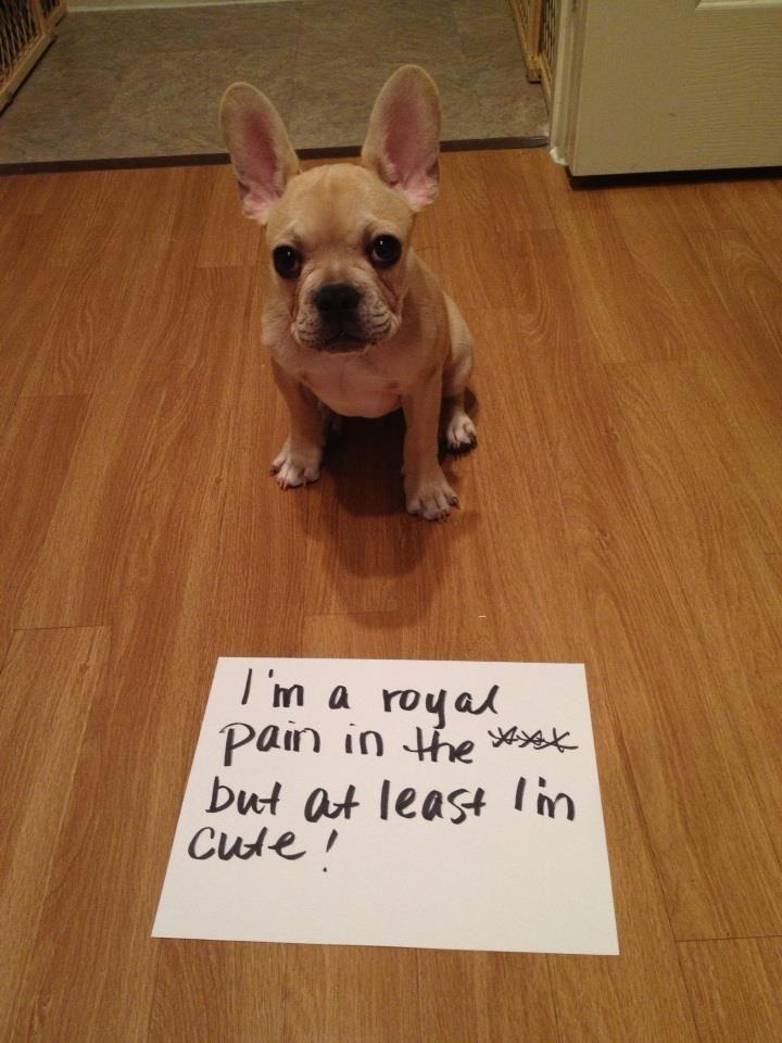 Pet Shaming My French Bulldog Pinner I Know The Feeling Hence